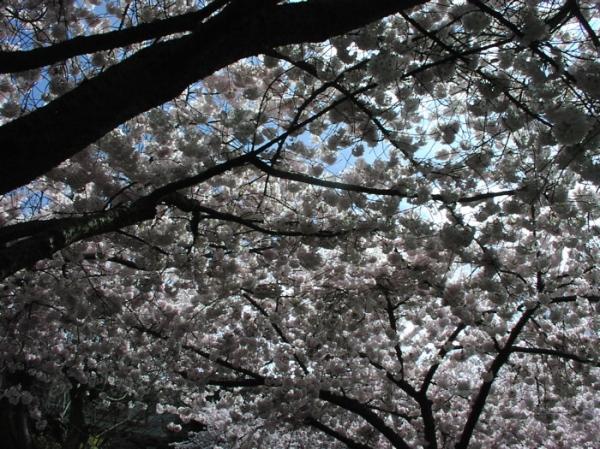 Cherry trees 2
