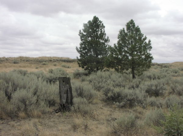 Desert pines
