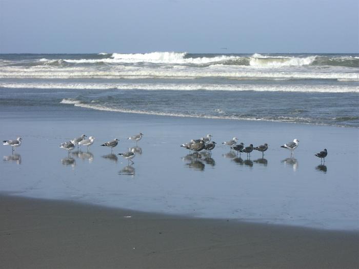 Benson seagulls