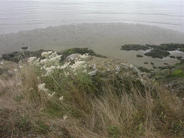 Baker Bay shore flowers