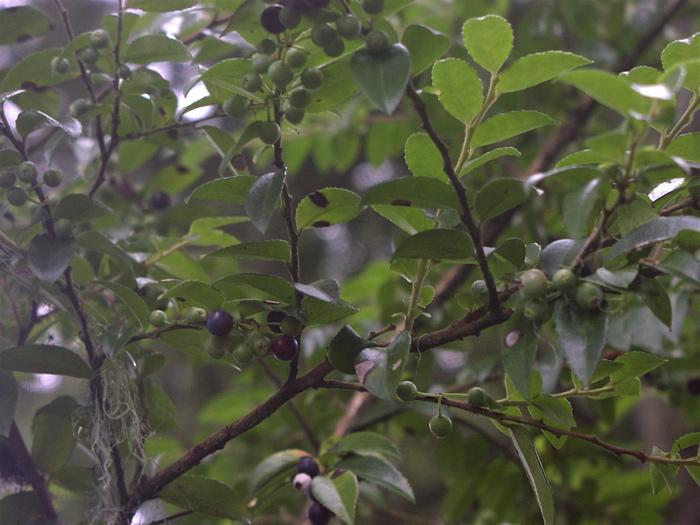 Evergreen huckleberries