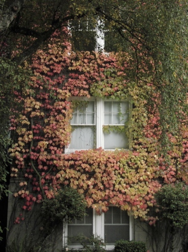 Ivy covered apartment house with leaves turning red