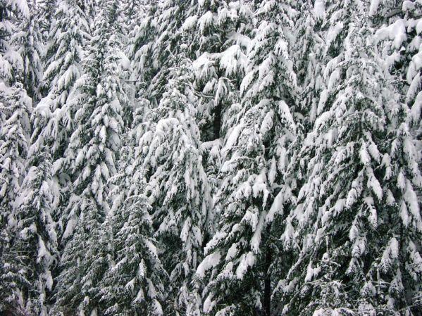 Snoqualmie trees