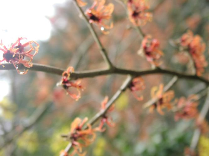Red witchhazel