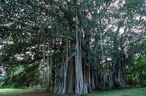 Calvaria tree