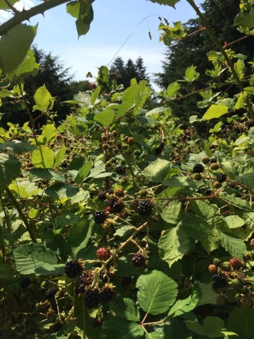 berries in the wild