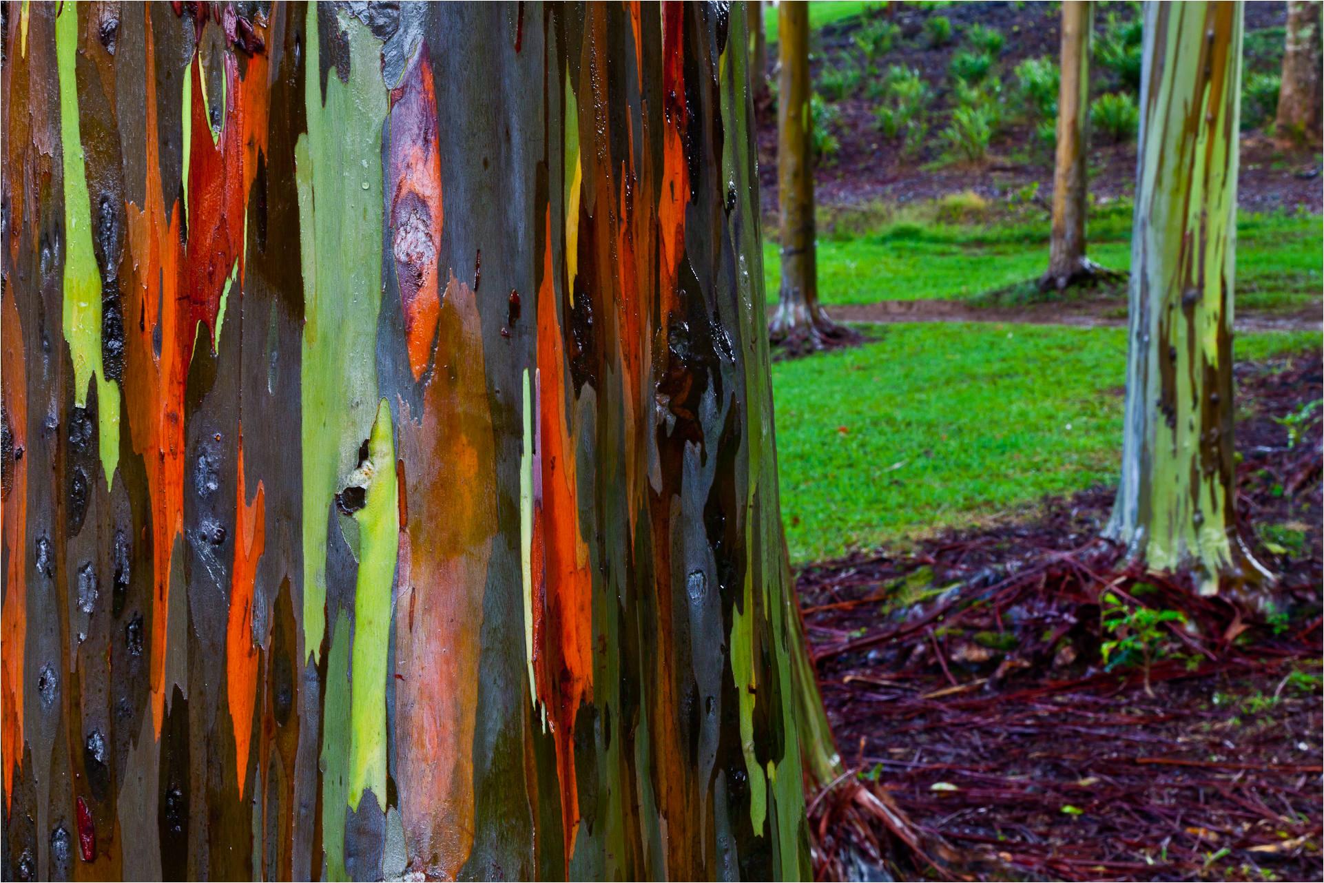 Christopher Martin\'s Photos of Rainbow Eucalyptus Trees   The Chawed ...