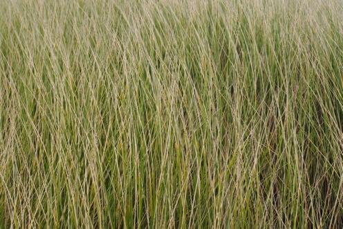 Bneson Beach dune grass