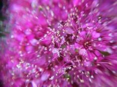 Rosy Spirea closeup